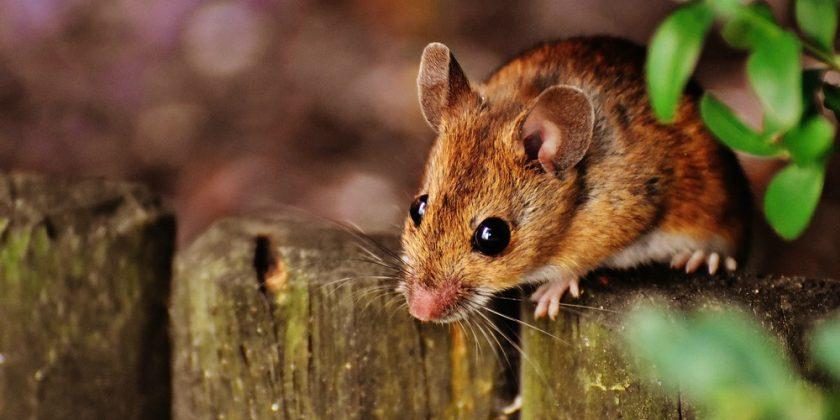 Spenden Lebensfreude nicht nur für Tierliebhaber: süße Mäuse © 2016 Alexas Fotos/pixabay.com   prepon.de